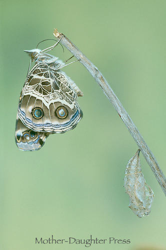 amercian painted lady butterfly, Vanessa, virginiensis, recovers and waits near chrysalis,