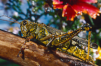 GRASSHOPPER<br /> American Grasshopper (Schistocera Americana)