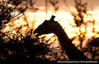 A Masai Giraffe eating at sunset in the Serengeti National Park, Tanzania.