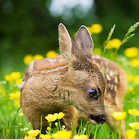 Roe Deer fawn (Capreolus capreolus), Normandy, France