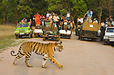 Large group of tourists in game drive vehicles watching Bengal tiger (Panthera tigris) crossing dirt track