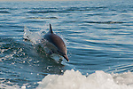 Common dolphin races to ride boat wake, Los Angeles, CA