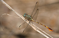 341730003 a wild male narrow-striped forceptail aphylla protracta perches on a large stick in santa ana national wildlife refuge in south texas