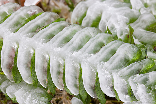 Ice on Deer Fern, Elowah Falls, Oregon
