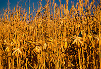 Corn ripening on the field on stalks with two blackbirds perched