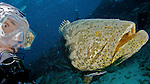 Goliath Grouper and Diver, Key Largo, Florida