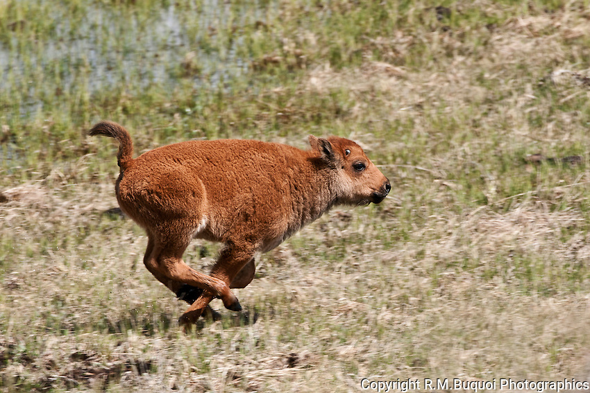Bison Calf running