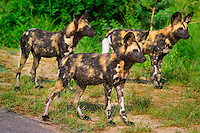 KRUGER NATIONAL PARK, SOUTH AFRICA, DECEMBER 2004.  A pack of african Wild Dogs guard their killed impala while hyena's try to get away with the carcas. Kruger National Park offers good viewing of the 'Big Five' and many other species. Photo by Frits Meyst/Adventure4ever.com