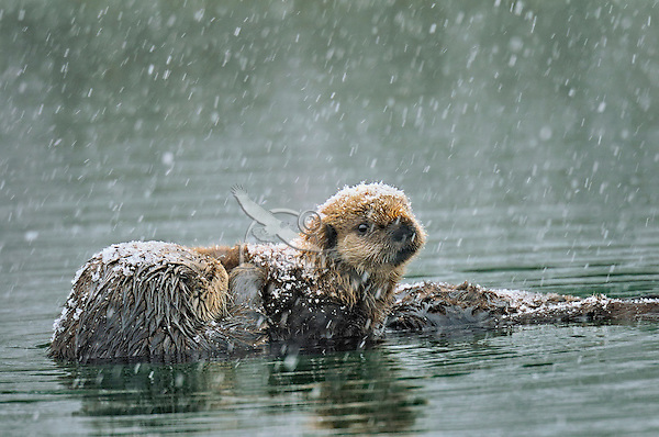 Alaskan or Northern Sea Otter (Enhydra lutris) mom with young pup during late winter snowstorm.  Alaska.