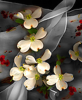 Still Life Dogwood Blossoms