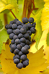 Cluster of ripe Oregon pinot noir, Wilamette Valley, Oregon