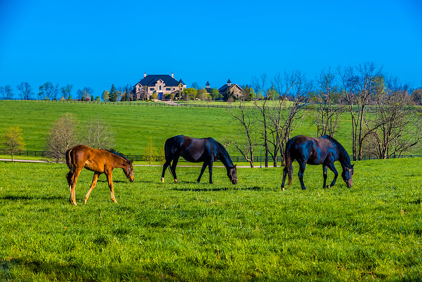 Thoroughbred foal and mares, Winstar Farm, Versailles (Lexington), Kentucky USA.