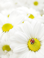 A ladybug perched on daisies
