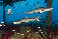 TP0317-D. Sand Tiger Sharks (Carcharias taurus) inside the shipwreck of the Aeolus. Fearsome in appearance but not aggressive, sand tigers pose no threat to divers unless provoked. They can hover in midwater by using their stomach as a buoyancy compensator with air they have gulped air at surface. They feed on bony fishes, sharks and rays, crustaceans, and squid. Dozens aggregate around shipwrecks in the Graveyard of the Atlantic offshore North Carolina, USA, Atlantic Ocean.<br /> Photo Copyright &copy; Brandon Cole. All rights reserved worldwide.  www.brandoncole.com