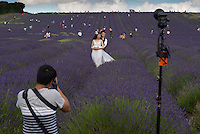 A Chinese couple, Zhang Yuan, 26 and his finance/wife Zhen Yi, 27, have their pictures taken in Hitchin Lavender farm, Hertfordshire, UK by a company called London Eye, with their chief photographer Vincent Kam, 17th July 2016. An increasing number of Chinese couple are having their wedding photos taken in the English country-side, classic towns and monuments to show in China. <br /> <br /> Photo by Richard Jones/Sinopix