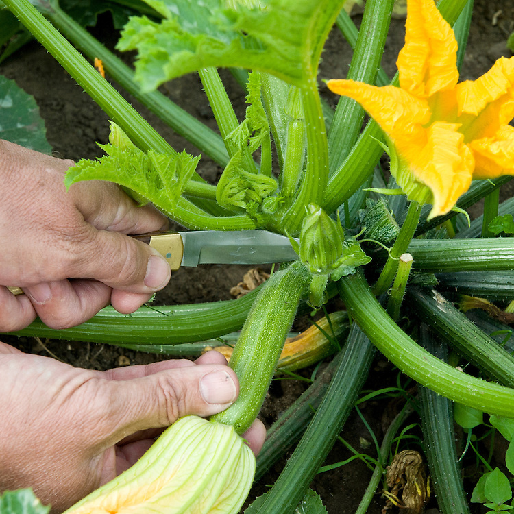Harvesting courgettes and courgette flowers before they become too large, mid July.