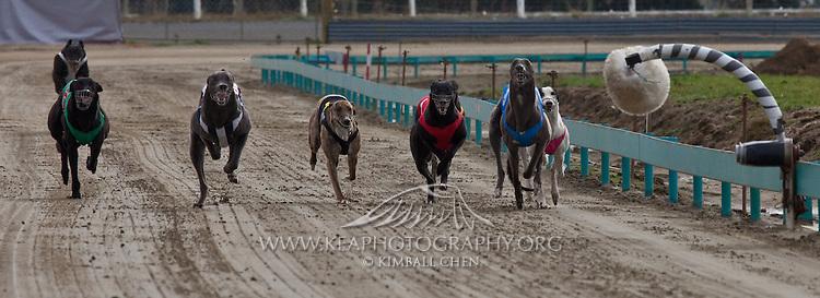 Greyhound Racing, Southland, New Zealand | Kea Photography