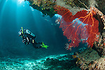 Bligh Waters, Vatu I Ra Passage, Fiji; a scuba diver swimming past a large, red gorgonian sea fan, growing on the wall of the cathedral at the E6 dive site, as light rays stream in from above