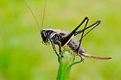 Grasshopper (Pholidoptera aptera)