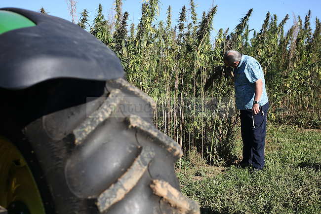 """Terry Sutton, a farmer from Frankfort, smells the hemp plant at the University of Kentucky hemp harvest at Spindletop Research Farm in Lexington, Ky., on Tuesday, September 23, 2014.  """"Smells good,"""" Sutton said. Photo by Tessa Lighty 
