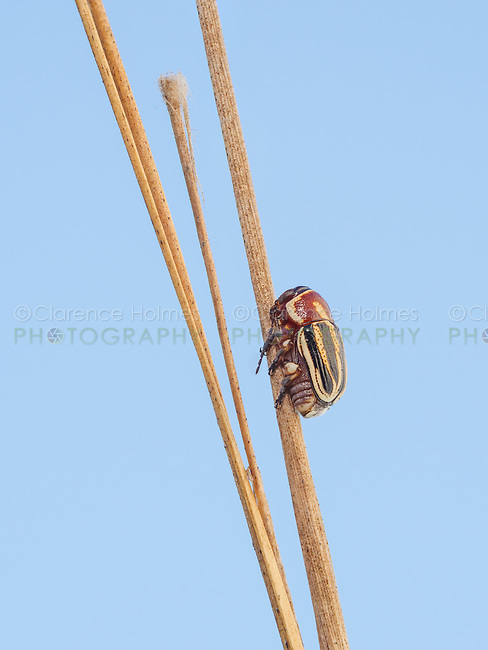 A Scripted Leaf Beetle (Pachybrachis sp.) perches on a plant stem.