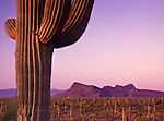 With Panther Peak and Safford Peak in the distance, a single saguaro cactus (Carnegiea gigantea) rises above the Sonoran Desert.