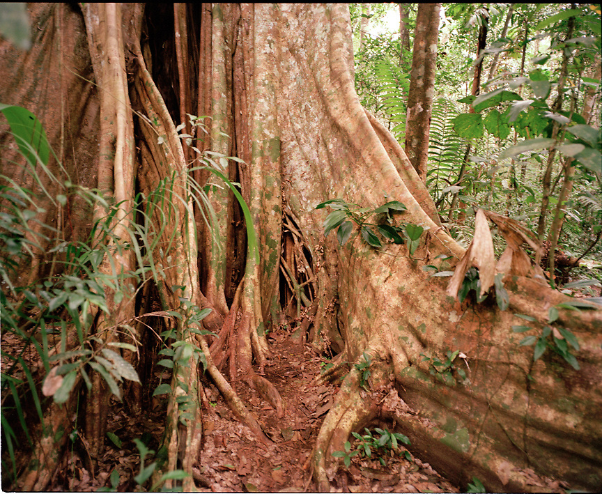 Tree in the rainforest of Tambopata Nature Reserve, Peru, South America