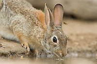 673280028 a wild desert cottontail rabbit sylvilagus audibonii drinks from a small pond in the rio grande valley of south texas