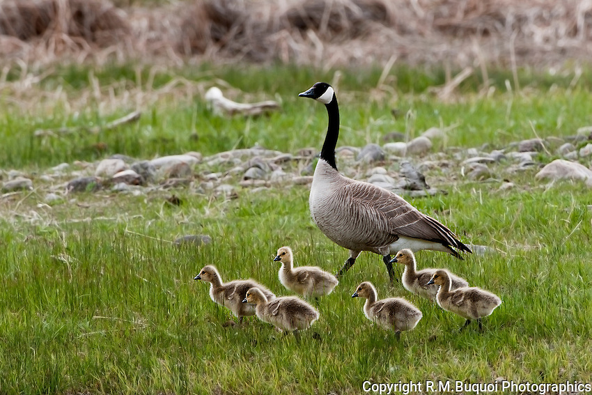 Canada Goose with gosslings