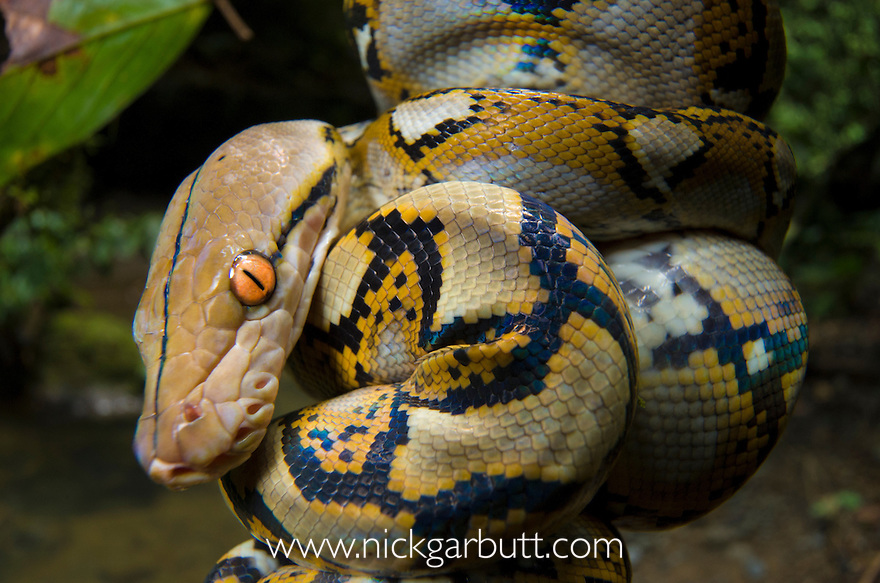 Close up of juvenile Reticulated Python (Python reticulatus) resting on sapling. Danum Valley, Sabah, Borneo.