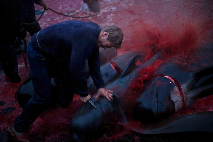 The Faroese Whale Kill
