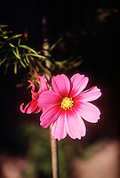 DAISY FAMILY (COMPOSITAE OR ASTERACEAE)<br /> Cosmos Blossom
