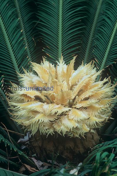Seed or female cone of a Cycad ,Cycas revoluta,.