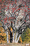 From a certain distance this beautiful winterberry looked like a sort of bloom, well out of season. I love this tree, particularly for the strong contrast between the grey bark and the red berries..Taken on a late afternoon of October in Valle Stretta, western Alps. This is a stitch of three horizontal frames captured with my beloved Zeiss Planar 50 f1,4. Manual focused on the berries thanks to the amazing 10x magnification of the new 50D live view, and then stopped down to f4 just to include the bark in the DOF.