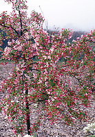 Flowering crabapple in spring bloom with red buds and pink flowers of Malus floribunda . Small growing, dwarf crabapple tree