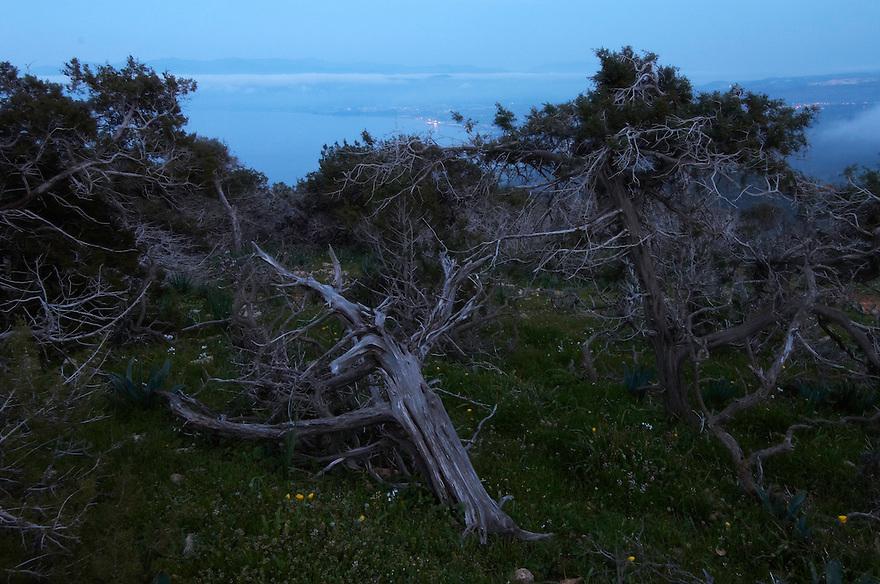 Mediterranean Cypress (Cupressus sempervirens), Akamas Peninsula, Cyprus