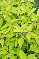 Kolkwitzia amabilis Dreamcatcher ('Maradco') in July summer shrub