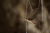 Mayfly caught in the sticky silk threads from the larvae of the Fungus Gnats (Arachnocampa luminosa) in a New Zealand cave. Glowworm larvae pull up the silk to eat the prey.