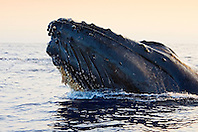 Humpback Whale in competitive group, displaying head lunge, Megaptera novaeangliae, note colonies of Acorn Barnacles, Cornula regina and/or Cornula diaderma, attached under chin growing Long-necked Goose Barnacles or Rabbit-eared Barnacles, Conchorderma auritum, on top of them, Hawaii, Pacific Ocean.