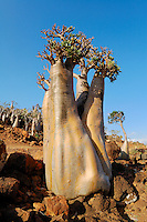 The unusual shape of Desert Rose Trees (Adenium obesum), Socotra, Yemen.