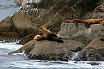 Stellar sea lions, Kenia Fjords NP