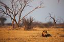 Botswana, Chobe National Park, Savuti, male lion (Panthera leo) lying in grass savannah early morning