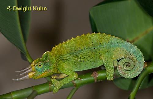 CH36-564z  Male Jackson's Chameleon or Three-horned Chameleon, Chamaeleo jacksonii