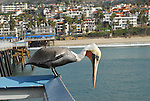 brown pelican looking for fish at San Clemente Pier