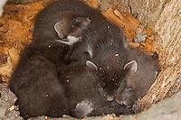 Baummarder, noch blinde Junge, Jungtiere in ihrer Baumhöhle, Baum-Marder, Edelmarder, Edel-Marder, Marder, Martes martes, European pine marten