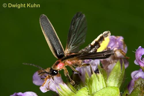 1C24-766p    Pyralis Firefly, Lightning Bug Male,  Photinus spp.