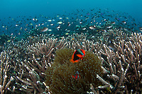 A Clownfish pair among the staghorn corals at Apo Island, Philippines
