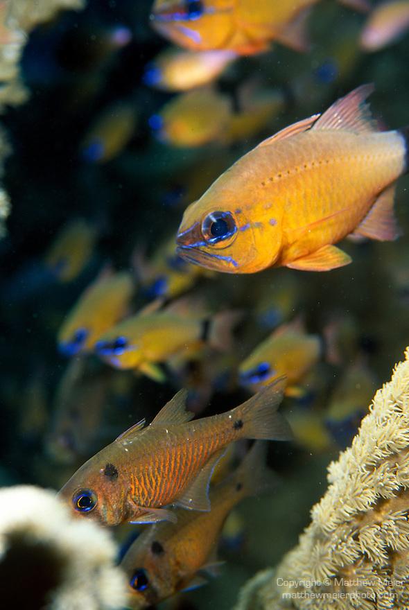 Milne Bay, Papua New Guinea; Ringtailed Cardinalfish (Apogon aureus), to 12 cm (5 in.), form aggregations, live in sheltered coastal, lagoon and outer reefs to 40 meters, found in E. Africa to Tonga, S.W. Japan to E. Australia, also Yellowstriped Cardinalfish (Apogon cyanosoma) and Twinspot Cardinalfish (Archamia biguttata) , Copyright © Matthew Meier, matthewmeierphoto.com