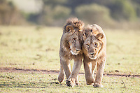 Two young bachelor lions reinforcing their social bonds in the Masai Mara Reserve, Kenya, Africa (photo by Wildlife Photographer Matt Considine)