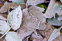 Hoar frost covered autumn leaves, Oxfordshire, UK